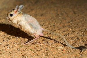 Greater Egyptian Jerboa (Jerboa orientalis) balancing using its tail. Captive. Endemic Algeria to Saudi Arabia.  -  Roland Seitre