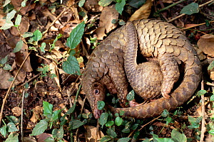Mother and baby Malayan / Javan / Sunda Pangolin (Manis javanica) curled up. Mulhouse Zoo, France. Endemic to Thailand, Burma, Indonesia and other South-East Asian localities. Endangered due to huntin... - Roland Seitre