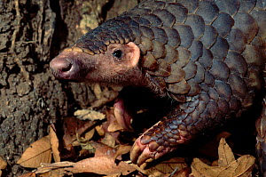 Malayan / Javan / Sunda Pangolin (Manis javanica). Mulhouse Zoo, France. Endemic to Thailand, Burma, Indonesia and other South-East Asian localities. Endangered due to hunting for the Chinese traditio...  -  Roland Seitre