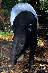Malayan Tapir (Tapirus indicus). Captive. Endemic to tropical lowland forests of South East Asia. Mulhouse Zoo, France. - Roland Seitre