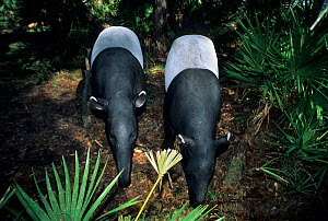 Malayan Tapirs (Tapirus indicus). Captive. Endemic to tropical lowland forests of South East Asia. Mulhouse Zoo, France. - Roland Seitre
