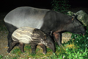 Malayan Tapir (Tapirus indicus) mother with baby. Captive. Endemic to tropical lowland forests of South East Asia. Mulhouse Zoo, France. - Roland Seitre