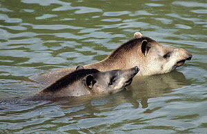 Brazilian Tapirs (Tapirus terrestris) in water. The male (foreground) is courting the female. Captive. Medellin Zoo, Antioquia, Colombia.  -  Roland Seitre
