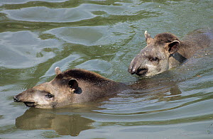 Brazilian Tapirs (Tapirus terrestris) in water. The male at the rear is courting the female. Captive. Medellin Zoo, Antioquia, Colombia. - Roland Seitre