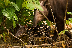 Brazilian Tapir (Tapirus terrestris) mother with baby. Captive. Medellin Zoo, Antioquia, Colombia. - Roland Seitre