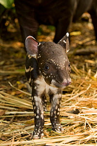 Brazilian Tapir (Tapirus terrestris) baby looking at camera. Captive. Medellin Zoo, Antioquia, Colombia. - Roland Seitre