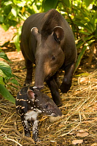 Brazilian Tapir (Tapirus terrestris) baby being watched over by its mother. Captive. Medellin Zoo, Antioquia, Colombia. - Roland Seitre