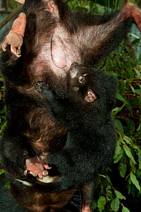 Tasmanian Devil (Sarcophilus harrisii) baby at its mother's pouch; she is being held by a park ranger. Captive. Gosford, New South Wales, Australia. - Roland Seitre