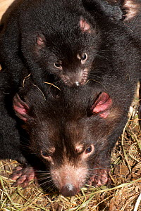 Tasmanian Devil (Sarcophilus harrisii) mother with baby on her back. Captive. Gosford, New South Wales, Australia. - Roland Seitre