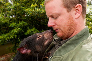Tasmanian Devil (Sarcophilus harrisii) sniffing its handler. Captive. Gosford, New South Wales, Australia. Sequence 1 of 2. - Roland Seitre