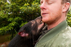 Tasmanian Devil (Sarcophilus harrisii) nibblig its handler. Captive. Gosford, New South Wales, Australia. Sequence 2 of 2. - Roland Seitre
