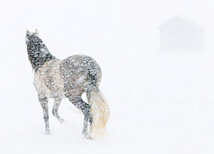Horse in snow storm with shed in background, USA  -  Carol Walker