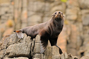 New Zealand fur seal (Arctocephalus forsteri) resting on rocks, Tasmania, Australia  -  Dave Watts