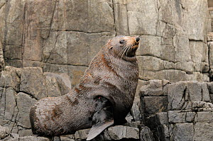 New Zealand fur seal (Arctocephalus forsteri) adult male resting on rocks, Tasmania, Australia  -  Dave Watts