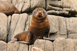 New Zealand fur seal (Arctocephalus forsteri)  young pup resting on rocks, Tasmania, Australia  -  Dave Watts