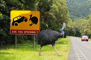Southern cassowary (Casuarius casuarius) adult male crossing road near road warning sign, World Heritage National Park rainforest of the Wet Tropics, north Queensland, Australia, digital composite  -  Dave Watts