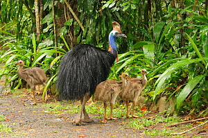 Southern cassowary (Casuarius casuarius) adult male with three chicks, World Heritage National Park rainforest of the Wet Tropics, north Queensland, Australia, digitally manipulated  -  Dave Watts