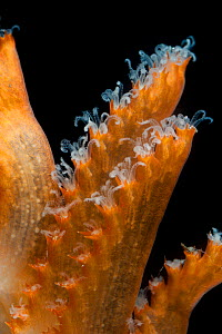 Close up of Sea pen (Pennatulacea) from coral seamount, SW Indian Ridge, Indian Ocean, December 2011 - David Shale