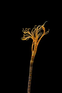 Feather star / stalked crinoid (Crinoidea) from coral seamount, SW Indian Ridge, Indian Ocean, November 2011 - David Shale