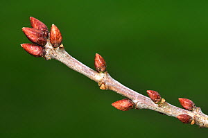 English oak tree (Quercus robur) close up of twig in winter showing buds, Dorset, UK January.  -  Colin Varndell