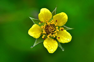 Wood avens / Herb bennet (Geum urbanum) close up of flower, Dorset, UK May.  -  Colin Varndell