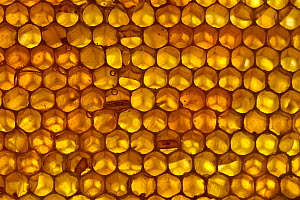 Close up of honeycomb from Honey bee hive (Apis mellifera) showing hexagonal pattern of cells filled with liquid honey, Qatar, Arabian Gulf, May  -  John Waters