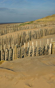 Coastal conservation in action, stabilising fore mobile dunes with chestnut fencing, carried out by Sefton Borough Council, Merseyside, UK 2012 - David Woodfall
