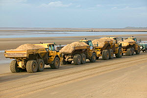 Dumper trucks translocating destroyed sand dune along beach from Crosby to Hightown where it is used to create engineered sand dune which will erode naturally and raise level of beach.  This will help... - David Woodfall