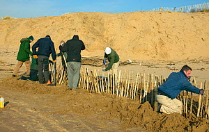 Conservation workers from Sefton Borough Council reparing coastal defence, inadvisedly erected to protect reconstructed sand dune after high tide and wind erosion, Merseyside, UK 2012 - David Woodfall