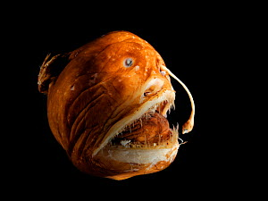 Deepsea Blackdevil fish (Melanocetus murrayi) female anglerfish specimen.  -  Solvin Zankl