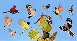 Digital composite of Cardinal, Mockingbird, Green jay, House finch, Pine warbler, Golden-fronted woodpecker, Chipping sparrow, birds landing on Texas prickly pear cactus (Opuntia lindheimeri), Dinero,...  -  Rolf Nussbaumer