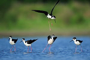 RF- Black-necked stilt (Himantopus mexicanus) four adults standing in water with one in flight. Dinero, Lake Corpus Christi, South Texas, USA. (This image may be licensed either as rights managed or r... - Rolf Nussbaumer