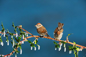 Chipping sparrow (Spizella passerina) pair perched on icy branch, Dinero, Lake Corpus Christi, South Texas, USA.  -  Rolf Nussbaumer