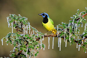 Green jay (Cyanocorax yncas) adult perched on icy branch, Dinero, Lake Corpus Christi, South Texas, USA. - Rolf Nussbaumer