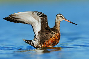 Hudsonian godwit (Limosa haemastica) adult landing on water, Dinero, Lake Corpus Christi, South Texas, USA.  -  Rolf Nussbaumer