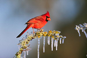 RF- Northern cardinal (Cardinalis cardinalis) male perched in ice covered bush. Dinero, Lake Corpus Christi, South Texas, USA. (This image may be licensed either as rights managed or royalty free.) - Rolf Nussbaumer
