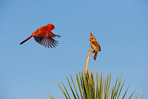 Northern cardinal (Cardinalis cardinalis) pair landing on yucca, Dinero, Lake Corpus Christi, South Texas, USA.  -  Rolf Nussbaumer