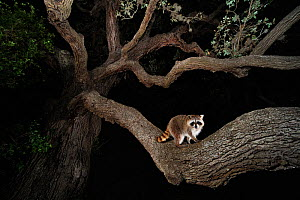 Northern raccoon (Procyon lotor) young at night climbing live Oak tree (Quercus virginiana) Dinero, Lake Corpus Christi, South Texas, USA.  -  Rolf Nussbaumer