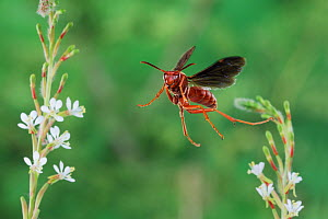 Red paper wasp (Polistes carolina) adult in flight, Dinero, Lake Corpus Christi, South Texas, USA. - Rolf Nussbaumer