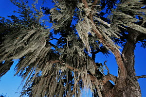 Spanish moss (Tillandsia usneoides) growing on live Oak tree (Quercus virginiana) Dinero, Lake Corpus Christi, South Texas, USA.  -  Rolf Nussbaumer