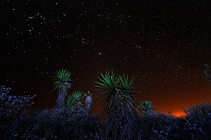 Trecul yucca / Spanish dagger (Yucca treculeana) at night, Dinero, Lake Corpus Christi, South Texas, USA.  -  Rolf Nussbaumer