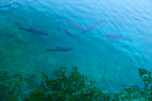 Common carp (Cyprinus carpio) in lake, Plitvice Lakes National Park, Lika, Croatia, Europe, October 2011 - Juan Carlos Munoz