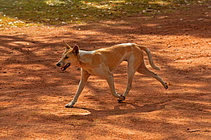Dingo (Canis lupus dingo) probably part domestic camp dog, running through campground, Kakadu National Park, Northern Territory, Australia, June  -  Steven David Miller