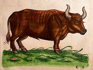 Woodcut of Auroch (Bos primigenius) from Gesner's 'Icones Animalium' 1560, with later colouring. Published by Christoph Froschover, Zurich. Hirsfogel's near identical picture of the auroch has the ins...  -  Paul D Stewart