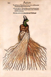 Woodcut illustration of Bird of Paradise (Paradisaea). From Gesner's 'Icones Animalium', published by Christof Froschover, Zurich (1560). When Magellan returned as the first to sail around the world i...  -  Paul D Stewart