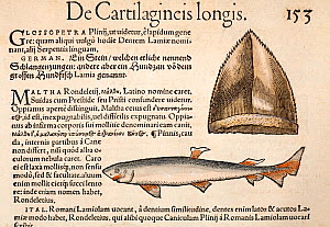 Woodcut with old colouring of shark and shark tooth fossil from Gesner 'Icones Animalium' publ. Christof Froschover, Zurich, 1560 (also 1558 in Historiae Animalium, Liber IIII). This is the first West... - Paul D Stewart