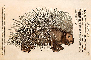 Woodcut illustration of Crested Porcupine (Hystrix cristata) with colouring. From Gesner's 'Icones Animalium' publ. Christof Froschover, Zurich, 1560. Of Gesner's many woodcuts this is one of the more...  -  Paul D Stewart