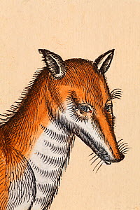 Red Fox (Vulpes vulpes) portrait detail from a woodcut with old colouring. Conrad Gesner 'Icones Animalium' publ. Christof Froschover, Zurich, 1560. Gesner's artist catches the perceived intelligent a...  -  Paul D Stewart