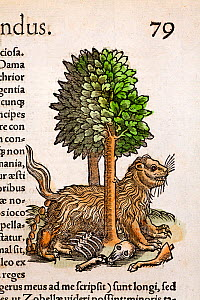 Woodcut illustration of Wolverine (Gulo gulo) or Glutton, squeezing between trees to defecate before resuming feeding. From Conrad Gesner's 'Icones Animalium' published by Christof Froschover, Zurich,...  -  Paul D Stewart