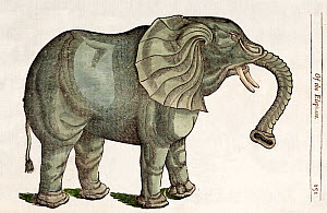 Illustration of Indian Elephant (Elephas maximus) 'Of the Elephant' a 1607 engraving with later tinting from Edward Topsell's 'History of four Footed Beasts'. Topsell produced one of the first English...  -  Paul D Stewart
